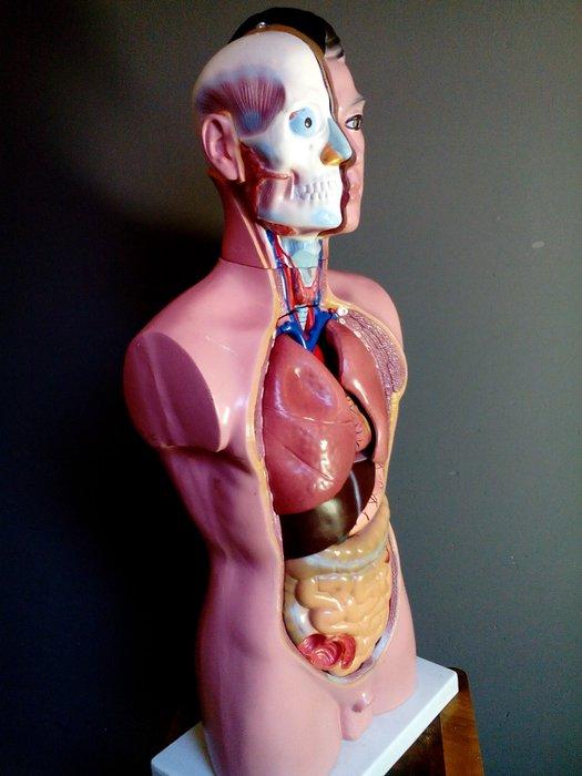 Poupée anatomique des années 40 / 50 - Torse masculin ...