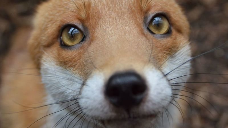 Petition Allow The Rehoming Of Foxes In Australia Change Org