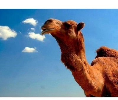 Thousands of camels murdered-Telugu worldwonders
