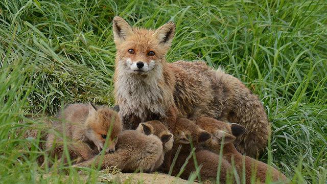 Landratsamt Rhein-Neckar: Rettet das Leben der Fuchsfamilie in Ilvesheim