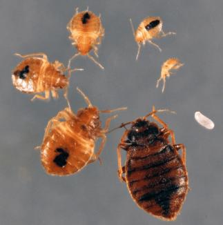 bedbug_01