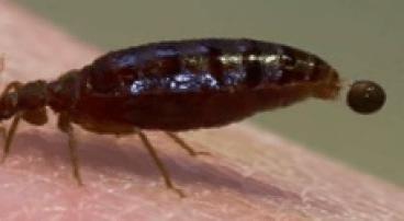 bedbug_04
