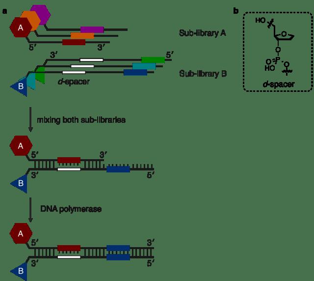 今回の報告における戦略 a)流れ図 b)d-spacerの構造