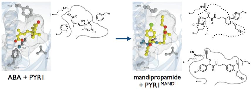 図2. ABAとPYR1の結晶構造(左図)、mandipropamideとPYR1MANDIの結晶構造(右図)