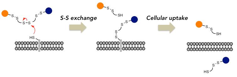 図1 Schematic illustration of a cellular uptake via S-S exchange.