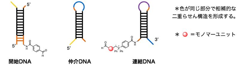図4 3種類のDNA