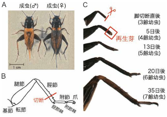 フタホシコオロギの脚再生過程