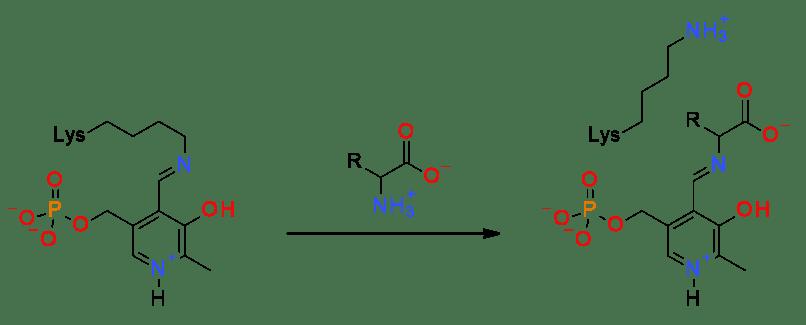 多才な補酵素:PLP | Chem-Stati...