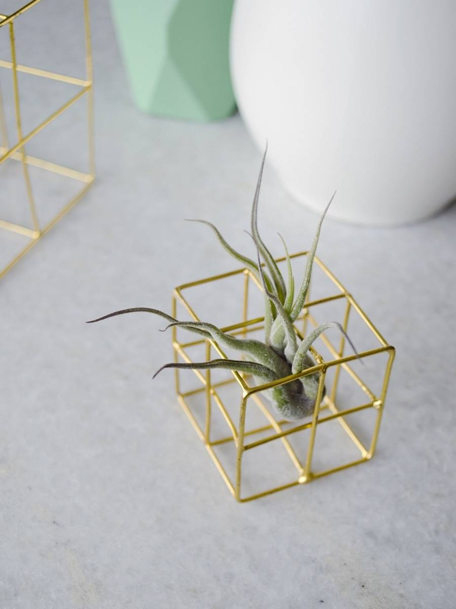 Pet-friendly Houseplants: Did you know that air plants are non-toxic to pets?