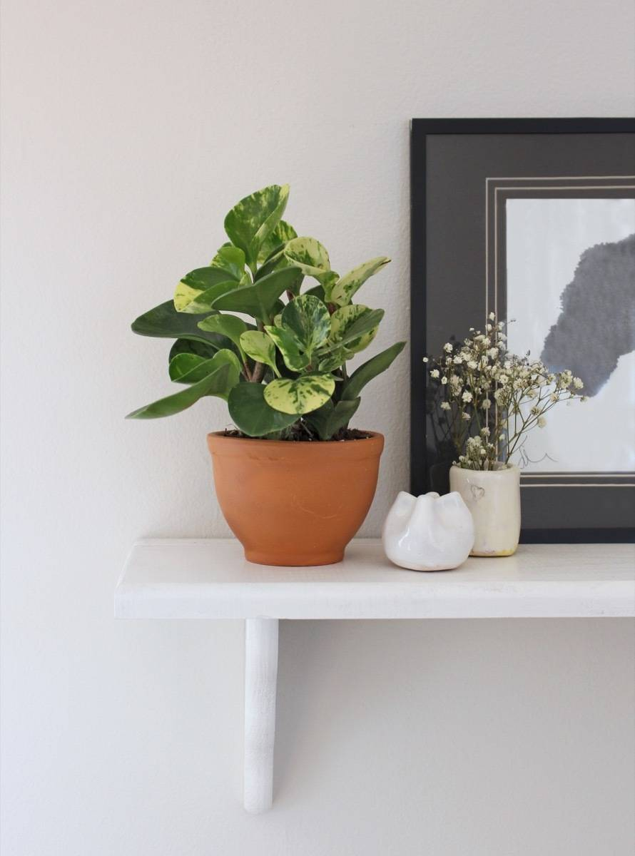Pet-friendly Houseplants: Peperomia - Cute, and non-toxic to both dogs and cats!