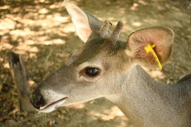 Grandiose deer in El Fuerte, Sinaloa to the rescue of species 1