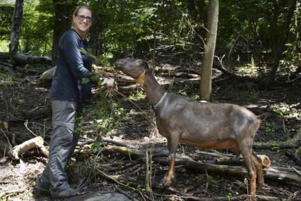 Goats are returning to Prospect Park this summer to eat vegetation in the park.
