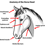 Horse Anatomy Drawing Step By Step Drawing Guide By Dawn Dragoart Com