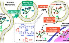 Caged Molecular Glues as Photoactivatable Tags for Nuclear Translocation of Guests in Living Cells