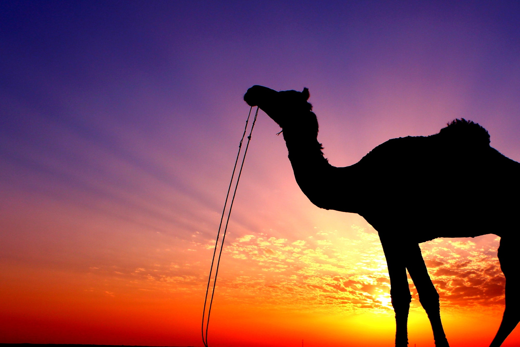 'Camel Startups' Put a Excessive Worth on the High quality of Their Merchandise