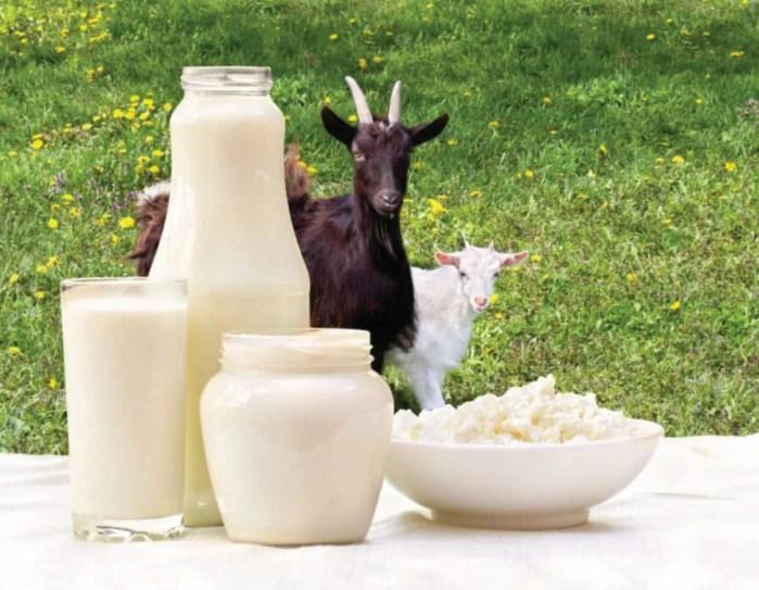 Susu kambing besar manfaatnya!