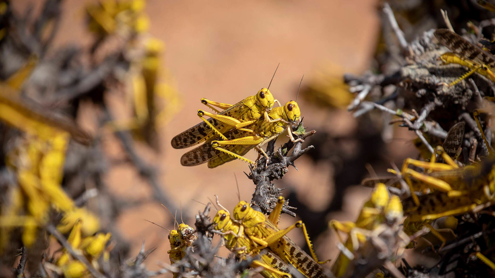Desert Locusts mate on a bush