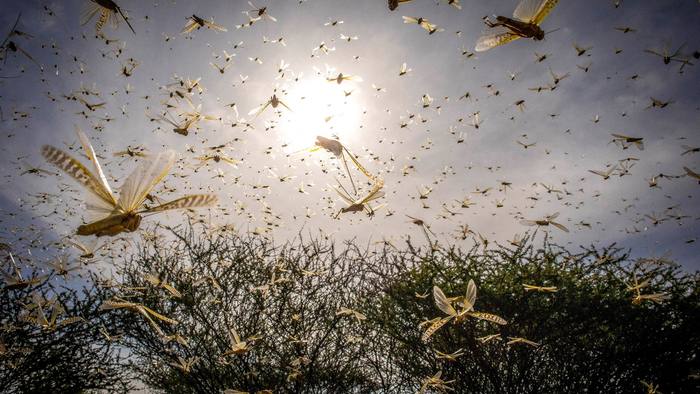 A Desert Locust swarm flies over a bush in Samburu County, Ololokwe, Kenya. A Desert Locust adult can consume roughly its own weight in fresh food per day that is about two grams every day.
