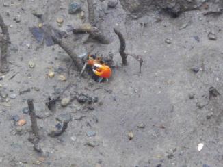Daintree 6 Fiddler crab