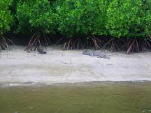 Daintree 9 croc