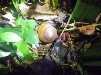 Daintree 11 snail