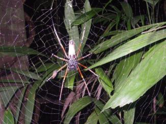 Daintree 23 Golden orb spider