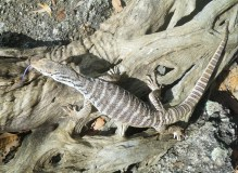 Mareeba 10 Spencer iguana