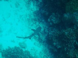 Cairns snorkeling 7 Reef shark