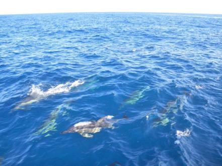 White-Island-1-Common-dolphin