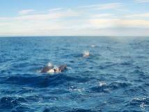 White-Island-15-Pilot-whales