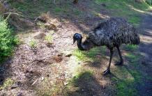 01-Emu