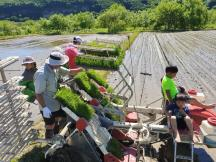 Yoichi rice plant 1