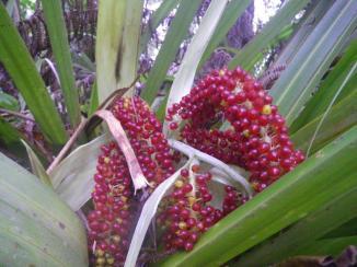Mt Auckland 7 fruit
