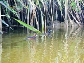 Okarito Ducks