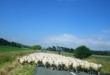 Sheep on road towards Castlepoint
