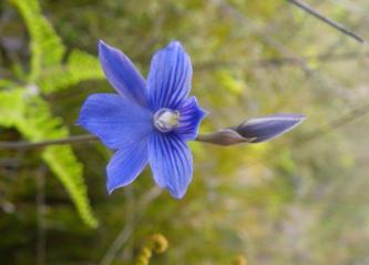 Tiropahi Orchid