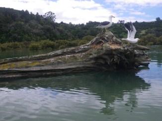 Waiwera gulls