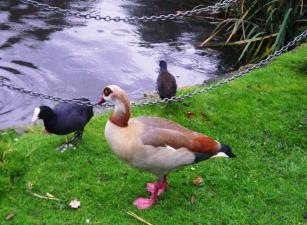 wpid-New-River-Pynmmes-Brook-Egyptian-goose.jpg