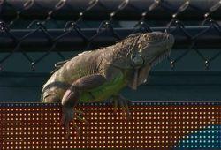 """Seekor Iguana """"Hadiri"""" Pertandingan Tenis Miami Terbuka 2017"""