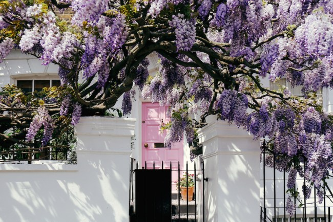 London in spring - where to find wisteria.