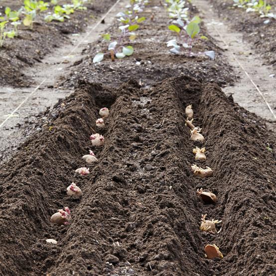 How To Plant Potatoes Martha Stewart