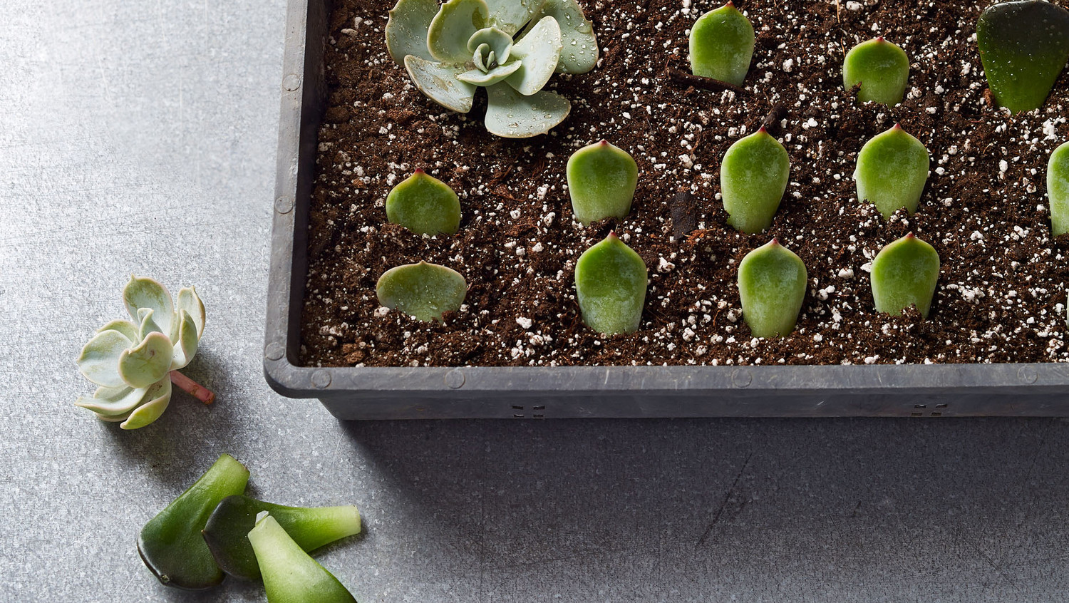 Propagating Succulents 1 Plant Hundreds Of Babies