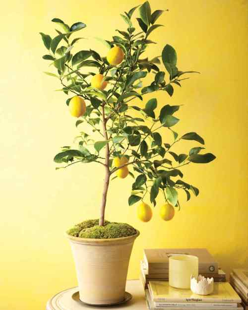 Tree Life Cycles Fruiting Indoor Lemon Tree with Ripening Lemons