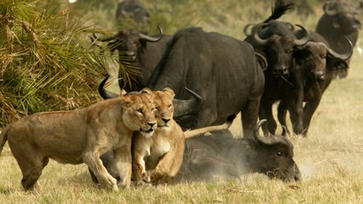 What Are Lions Enemies