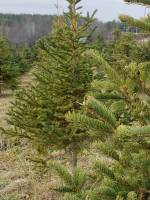Christmas tree farms in Peterborough area prepare for their big sales month