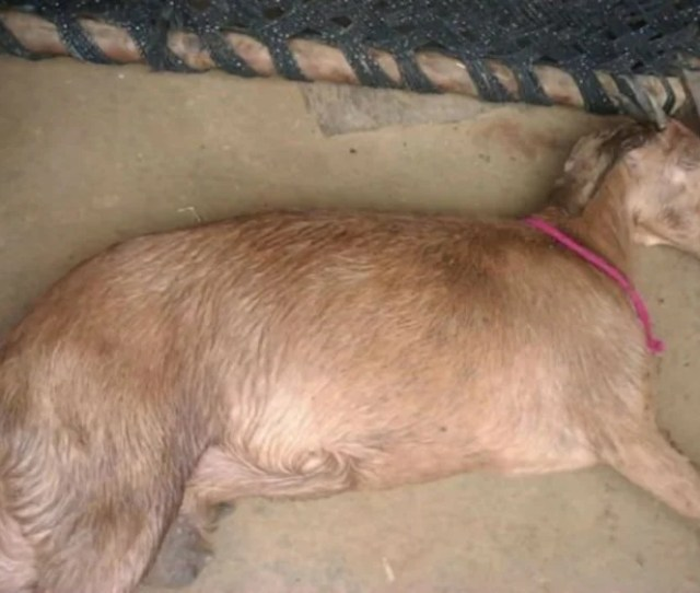 Pregnant Goat Dies After Being Gang Raped By Eight Men In India Share This Story