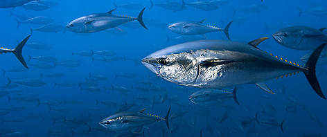 Northern bluefin tuna (Thunnus thynnus) off the coast of Spain. / ©: Brian J. Skerry / National Geographic Stock / WWF