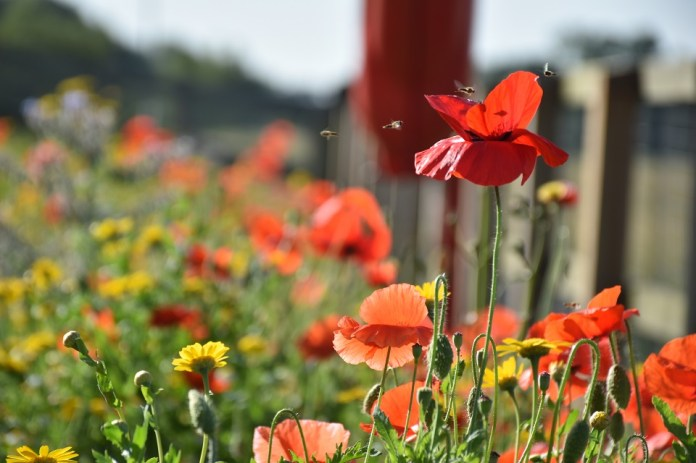 A close up view of wildflowers shows hoverflies on and near a red poppy planted. Further yellow flowers are in the background, out of focus.