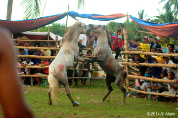 'ENTERTAINMENT.' An enthusiastic crowd watches as two horses fight during a derby held from May 15-17, 2014 in Digos City, Davao del Sur. Photo by Network for Animals Philippines