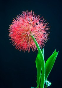 the cutest flowers 2  Blood Lily